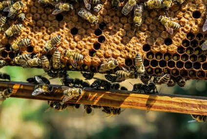 Deadly Impact Of Neonicotinoid Poison On The Growth Of Honeybees