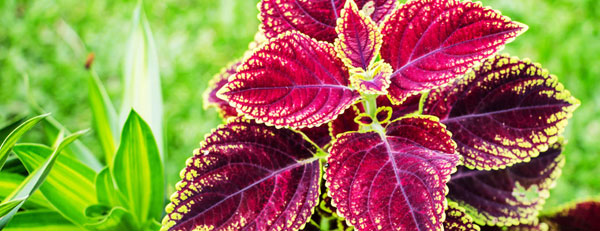 Forskolin - What Does This Mean For Your Health?